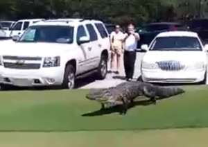 gator-walks-across-north-carolina-golf-course