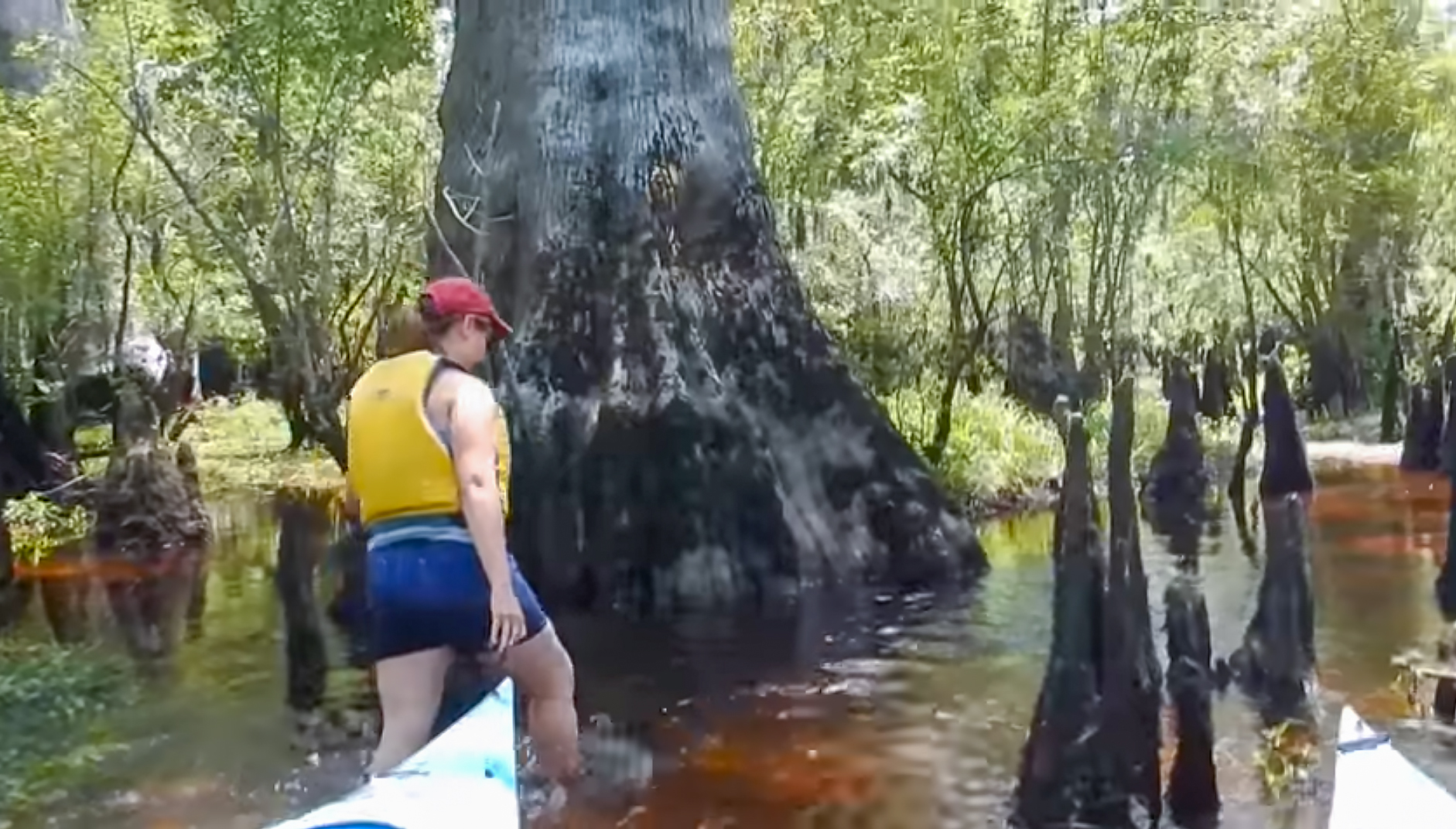 North Carolina Wants To Turn The Oldest Cypress Swamp In