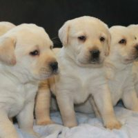 Free Lab Puppies